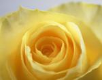 rose_yellow.jpg